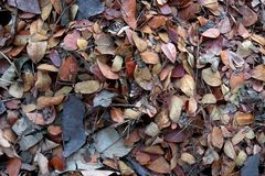 Fallen teak leaf on ground, Composting fall leaves, Biomass and mulch, organic material royalty free stock image