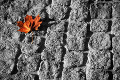 Fallen to a roadway. The maple leaf which has fallen to a roadway Royalty Free Stock Image