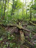 fallen tree Royaltyfria Bilder
