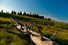 Fallen tree Royalty Free Stock Image