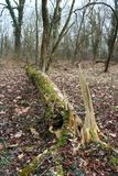 A fallen tree. In a winter forest royalty free stock photography