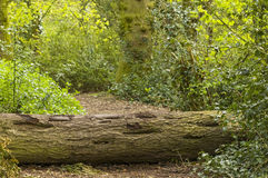 Fallen tree. Felled tree on the path stock images