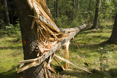Fallen tree Royalty Free Stock Photography