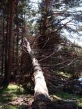 fallen tree Royaltyfria Bilder