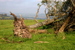 Fallen tree. Uprooted tree on top of hill Stock Images
