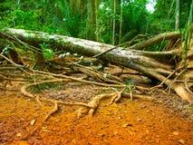 Fallen tree in amazonian rain forest Stock Image