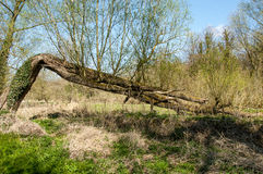 Fallen tree arch Royalty Free Stock Images