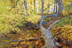 Fallen tree in automn Royalty Free Stock Photo