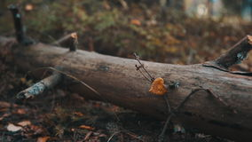 Fallen tree in the autumn forest stock video