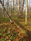 Fallen tree in autumn wood Stock Photography