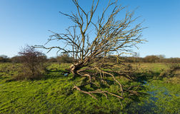 Fallen tree with bare branches in a rual are Stock Image