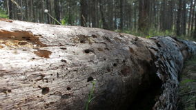 Fallen tree without bark stock video footage