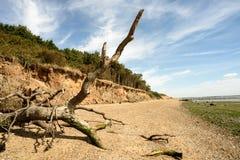 Fallen Tree Beach Erosion on Mersea Island Stock Photo