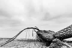 Fallen tree on the beach after storm. Sea black and white Royalty Free Stock Photos