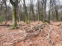 Fallen tree in beach woods Stock Image