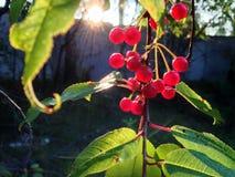 Fallen tree berries Royalty Free Stock Images