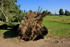 Fallen tree blown over by heavy winds at the park. Deadly summer storms hit western Germany after a heat wave. High winds, thunder and lightning and heavy royalty free stock images