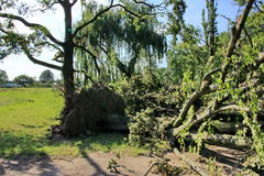 Fallen tree blown over by heavy winds at the park Stock Images