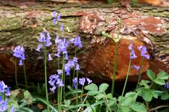 Fallen tree and bluebells Stock Photo