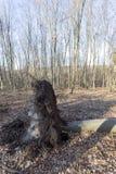 Fallen tree. In The Borzsony, Hungary stock photo