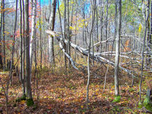 Fallen tree. This colorful scene was taken of a fallen birch wood tree in the northern woods of Wisconsin in mid autumn stock photos
