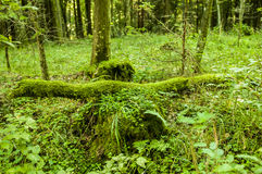 Fallen tree covered with moss. In Bialowieza nature reserve, Poland royalty free stock images