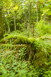Fallen tree covered with moss. In Bialowieza nature reserve, Poland stock photo