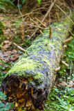 Fallen tree covered in moss in forest Royalty Free Stock Photography