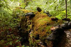 Fallen tree covered with moss and timber fungi Royalty Free Stock Images