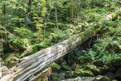 Fallen tree covered in moss in tropical forest. Wild greenery and big boulders under a fallen tree royalty free stock photography