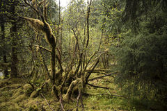 Fallen Tree. Covered with moss and vegetation in the rain forest Royalty Free Stock Image