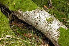 Fallen tree with crackle white bark and moss on it stock photography