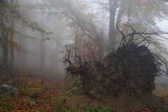 A fallen tree in the Crimea autumn foggy forest. Babugan-yayla of the mountain in the eastern part of the Crimea stock images