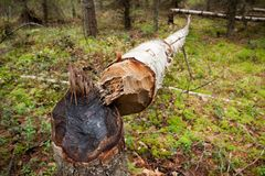 Fallen tree cut by beaver Stock Image