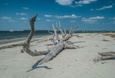Fallen tree decaying on the beach royalty free stock images