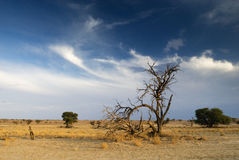 Fallen tree in the desert. A fallen tree under a wispy cloudscape in the Kalahari desert Stock Photos