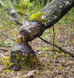 Fallen Tree. A tree destroyed from beavers Royalty Free Stock Photos