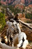 Fallen Tree. Detail of an old weathered tree in Bryce Canyon National Park Stock Image