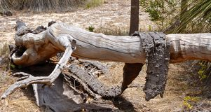 Fallen Tree: Draped in Bark Stock Photo