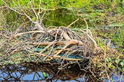 Fallen tree with dry branches over waters of a flooded region Royalty Free Stock Images