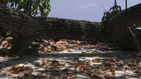 Fallen tree and dry leaves on the sand. Maldives video. Horizontal stock footage