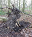 Fallen tree in a dutch forest Royalty Free Stock Image