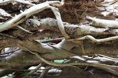 Fallen tree, entwined roots. Stock Photography
