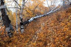 fallen tree för höst björk Royaltyfri Bild