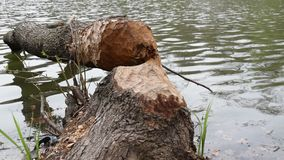 Fallen tree, felled by beavers stock video footage