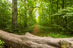 A fallen tree on the footpath in english forest.  Royalty Free Stock Photography