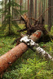Fallen tree Royalty Free Stock Images