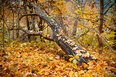 A fallen tree in the forest. Fallen tree in autumn forest Stock Photo