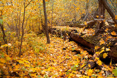 A fallen tree in forest. A fallen tree in the autumn forest Royalty Free Stock Photos
