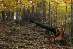 Fallen tree in the forest. Because of bad weather royalty free stock images